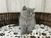纯种蓝猫,猫舍繁殖,