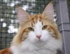 纯种挪威森林猫,有五代血统证书,哪家有卖纯种挪威森林猫