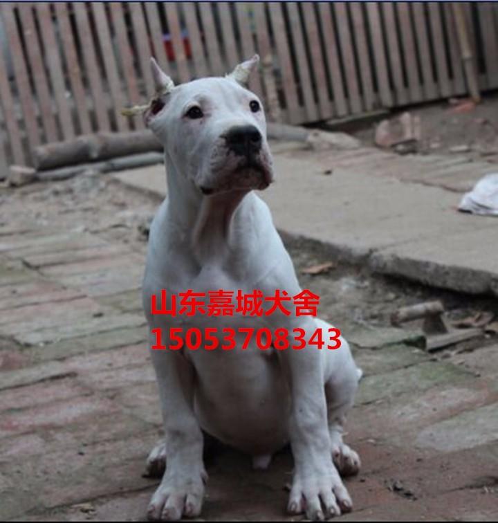 出售纯种阿根廷杜高犬成犬 杜高幼犬 带证书 芯片