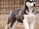 哈士奇雪橇犬三个月 驱虫疫苗已做完 购买签订活