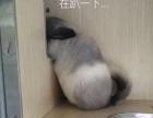 龙猫 标灰 银斑 金色