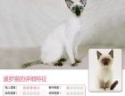#宠物猫#无锡暹罗猫咪弟弟妹妹都有。