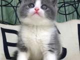 英短蓝白幼猫矮脚蓝猫折耳小猫活体宠物猫
