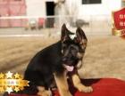 冠军后代双血统德国牧羊犬一窝 证书可查可以看狗父母