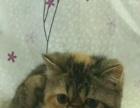 加菲猫幼猫出售,健康活泼。
