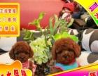 优惠中狗狗用品任意选纯种泰迪熊出售签合同