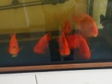 鹦鹉鱼17厘米
