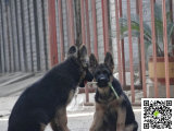 纯种牧羊犬多少钱 哪里有卖哪里卖牧羊犬纯种牧羊犬