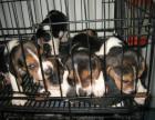 cku注册五星级犬舍 双血统比格犬可上门挑选