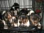 中国专业繁殖双血统比格犬犬舍 可以上门挑选