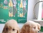 家有一窝纯种金毛幼犬转让、大头宽嘴、超漂亮的
