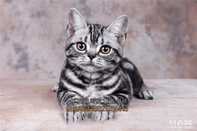 长沙买猫 纯种健康美国短毛猫 自家繁殖虎斑猫幼崽 立耳虎斑猫