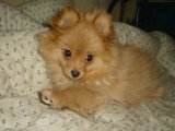 大型犬舍繁殖高品质博美犬健康有保证欢迎上门