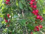山西钙果苗基地出售农大钙果苗,批发价处理钙果苗保湿邮寄