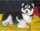 三把火蓝眼二哈哈士奇雪橇犬阿拉斯加幼犬活体宠物
