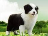 本犬舍出售七白到位边牧幼犬 犬舍直销 可送狗上门