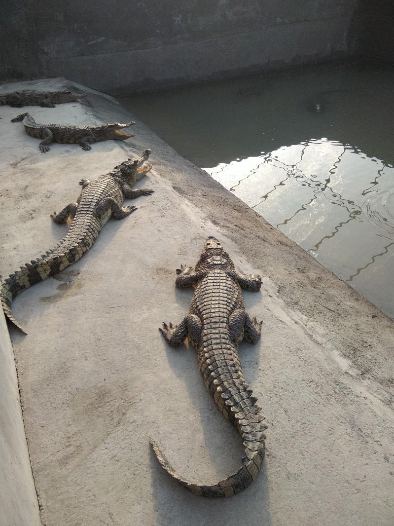 鳄鱼肉 活体鳄鱼 山东鲁强鳄鱼养殖场