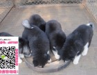 重庆阿拉斯加求购 重庆阿拉斯加大型养狗场 重庆阿拉斯加价格