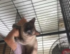 泰国暹罗猫成年一个三母,包生