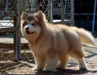 巨型红色阿拉斯加 熊版灰色阿拉斯加 阿拉斯加犬多少钱