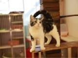 猫幼崽纯种猫舍现有美短虎斑-加白体格大品可上门