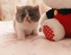 家庭式养殖猫咪 宠物猫咪出售 各类名猫专卖 加菲