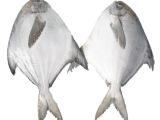 鲳鱼 白鲳鱼