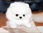 纯种哈多利版球体博美俊介幼犬 可爱至极 完善服务
