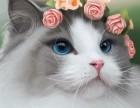 哈尔滨哪里有布偶猫卖 海豹双色重点手套均有CFA认可多只可挑