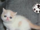高品质CFA加菲猫幼猫种猫出售