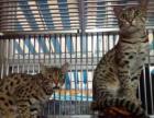 纯种成年雪豹猫 一公两母 一只已配