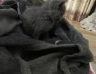 纯种2个月大英短蓝猫寻找有缘人