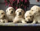 导盲犬拉布拉多出售中 保纯保健康 免费饲养指导