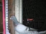 信鸽淑女鸽8个多月种鸟