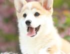CKU认证犬舍 柯基犬 保障健康 终生售后