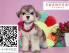 哪里的雪纳瑞最便宜 哪里有纯种雪纳瑞犬