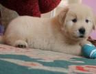 出售姿态优美 性格稳重不失活泼的纯种金毛幼犬