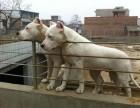常年出售杜高犬 杜高犬价格