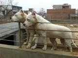 哪里卖的杜高犬便宜 杜高犬图片