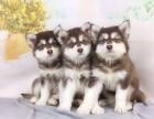西安出售3个月的阿拉斯加犬(公母均有)包犬瘟细小-签协议