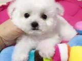 棉花糖比熊宝宝 雪白色大头 卷毛 纽扣眼 保证品质