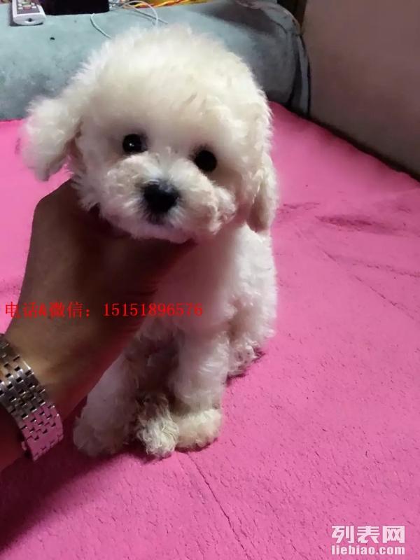 南京哪里卖白色贵宾犬 南京白贵宾的价格是多少 南京灰贵宾价格