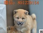 昆明盘龙地区出售纯种日系柴犬 正宗柴犬价格 犬舍专业繁殖销售