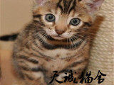 純種豹貓,貓舍繁殖,健康純種,品質保障
