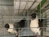 出售几只观赏鸽,元宝,两头乌,俄罗斯,马头,金鱼,点子,摩登