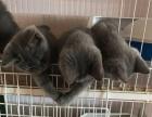 蓝猫宝宝三个月了!(仅剩一个妹妹)