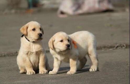 纯种导盲犬拉布拉多幼犬 家庭伴侣犬 可签购犬协议