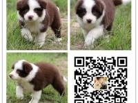 重庆犬舍出售纯种边牧犬 自产自销 签协议 面对面交易