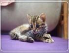 可刷卡可送货 自家猫舍繁殖出售 孟加拉豹猫 签正规售后协议