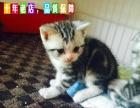 银虎标准纹 美国短毛 幼猫 美短加白